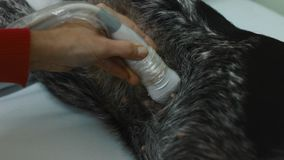 Ultrasound procedure. Ultra sound study of the dog in a veterinary clinic stock video footage