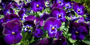Ultraviolet color of the Year 2018 Flowers in the sunlight stock photos