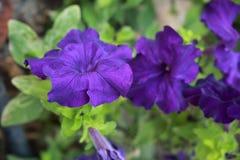 Ultraviolet petunias green leaf Royalty Free Stock Photo