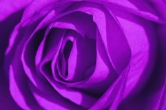 Ultraviolet Rose Macro Royalty Free Stock Images