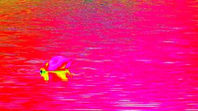 Ultraviolet scanning of water level with feeding swan. Adult swan swim on smooth water level . Thermal view stock video footage