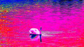Ultraviolet scanning of water level with feeding swan. Adult swan swim on smooth water level . Thermal view stock video