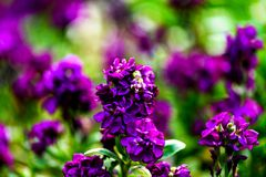 Ultravioleta fotografia de stock royalty free