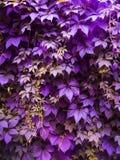 Ultraviolette Traubenblätter stockfotografie