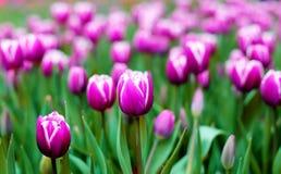 Ultraviolette tulpen, srgb beeld