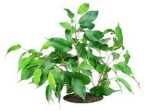 ulubiona salowa roślina Obrazy Stock