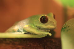 Uluguru forest tree frog Stock Photo