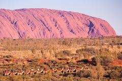 Uluru bei Sonnenuntergang mit Kamelen Stockfoto