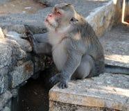 Uluwatu Monkey Stock Photography
