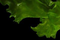 Ulva rigida, sea lettuce isolated on black background. Thailand stock photo