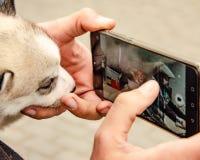Ulyanovsk Rosja, Maj, - 03 2019: Troszkę łuskowaci szczeniaków spojrzenia przy fotografią motocykliści na telefonu komórkowego ek zdjęcie royalty free