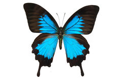 Ulyses del papilo de la mariposa Fotografía de archivo libre de regalías