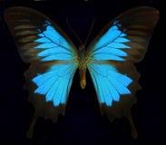 Ulysses/голубая бабочка горы Стоковая Фотография RF