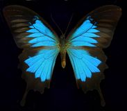 Ulysses/Blue Mountain Butterfly Royalty Free Stock Photography