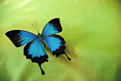Ulysses Butterfly. Vibrant Ulysses Butterfly photographed against green fabric backdrop Royalty Free Stock Images