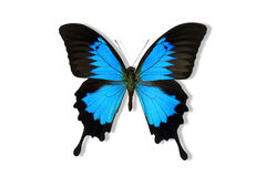 Ulysses Butterfly (Papilio ulysses) Royalty Free Stock Images