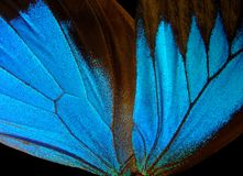 Ulysses butterfly wings on a black background. Wings of a butterfly Ulysses. Ulysses butterfly wings  on a black background Royalty Free Stock Photography