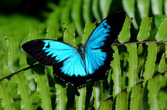 Ulysses Swallowtail butterfly above view. Ulysses Swallowtail (Papilio ulysses) is a large swallowtail butterfly of Australasia. This butterfly is used as an royalty free stock photos