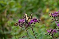 Um áster oriental de Tiger Swallowtail e de Nova Inglaterra fotografia de stock