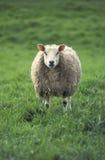 Um único carneiro no prado Fotos de Stock