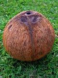 Um único coco (pealed) despido Imagens de Stock Royalty Free