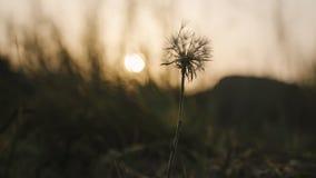Um único, dente-de-leão velho e murchado contra um fundo da natureza durante o por do sol Profundidade de campo rasa imagem de stock