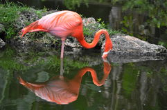 Um único flamingo Fotografia de Stock Royalty Free