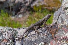 Lagarto que basking na luz solar da tarde em uma rocha Foto de Stock Royalty Free