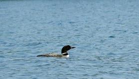 Um único mergulhão-do-norte em Maine imagens de stock