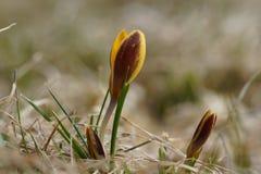 Um açafrão amarelo solitário na mola, cresce na grama seca Foto de Stock