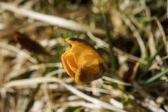 Um açafrão amarelo solitário na mola, cresce na grama seca Imagem de Stock