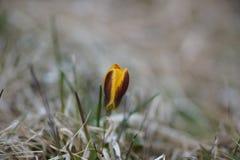 Um açafrão amarelo solitário na mola, fundo natural Foto de Stock Royalty Free
