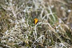 Um açafrão amarelo solitário na mola, fundo natural Imagens de Stock