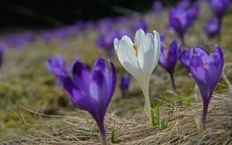 Um açafrão branco e muito violeta Imagens de Stock
