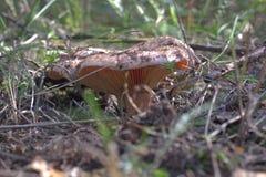 Um açafrão Milkcap lado inferior do tampão o cogumelo crescente Fotos de Stock Royalty Free