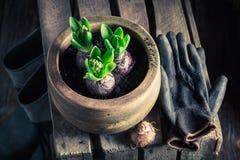 Um açafrão verde novo e umas ferramentas de jardinagem velhas Foto de Stock Royalty Free