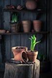 Um açafrão verde recentemente crescido e um solo escuro fértil Imagem de Stock Royalty Free