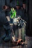 Um açafrão verde recentemente crescido e umas ferramentas de jardinagem velhas Fotografia de Stock Royalty Free