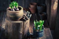 Um açafrão verde recentemente crescido e uns potenciômetros de argila velhos Fotos de Stock