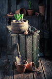 Um açafrão verde recentemente crescido na casa de campo rústica Fotografia de Stock Royalty Free