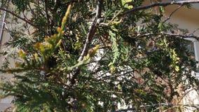 Um abeto sae no raio de sol Foto de Stock