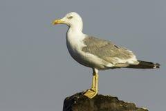Um adulto de gaivota/cachinnans amarelo-equipados com pernas do Larus Foto de Stock Royalty Free