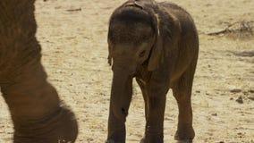 Um africana bonito do Loxodonta do elefante africano do bebê, Addo Elephant National Park, África do Sul fotografia de stock