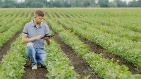 Um agrônomo novo trabalha no campo, inspeciona arbustos da soja Usa uma tabuleta digital