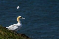 Um albatroz em penhascos do bempton, Yorkshire, Reino Unido Fotografia de Stock Royalty Free