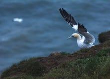 Um albatroz em penhascos do bempton, Yorkshire, Reino Unido Imagem de Stock
