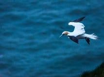 Um albatroz em penhascos do bempton, Yorkshire, Reino Unido Fotos de Stock Royalty Free
