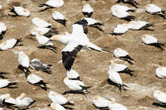 Um albatroz que desliza após Cliff Tops Fotos de Stock Royalty Free