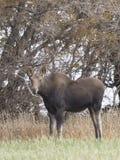 Um alce do parto em um campo em North Dakota Fotografia de Stock Royalty Free