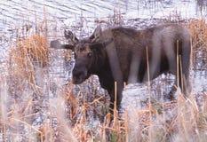 Um alce novo do touro que vadeia em uma lagoa Foto de Stock Royalty Free